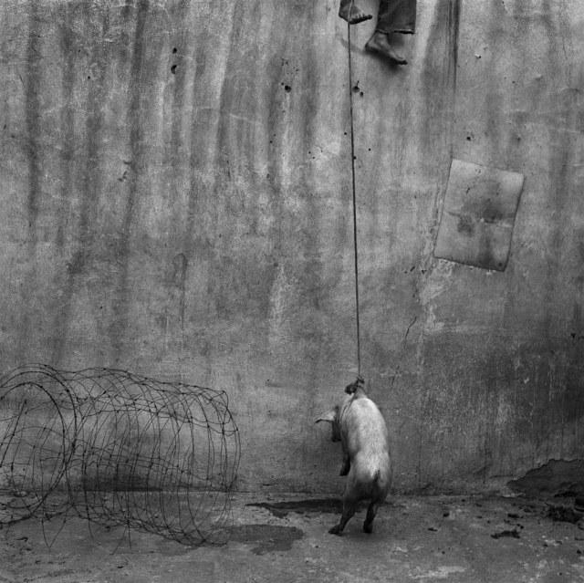 5_Hanging pig, 2001